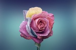 rose-beautiful-beauty-bloom
